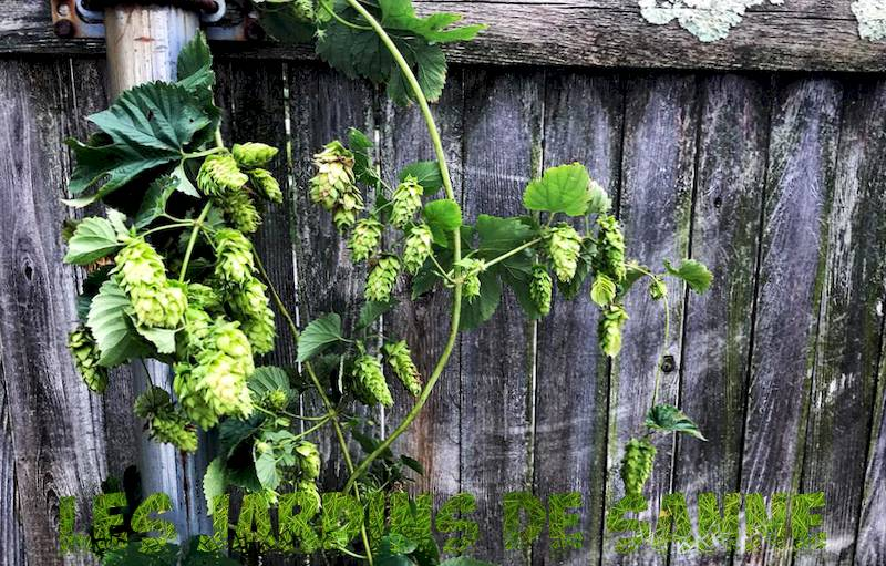 Backyard Hops Plants - Dove trovare i rizomi di luppolo